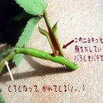 バラクキバチ幼虫