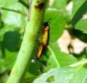 チュウレンジバチの成虫
