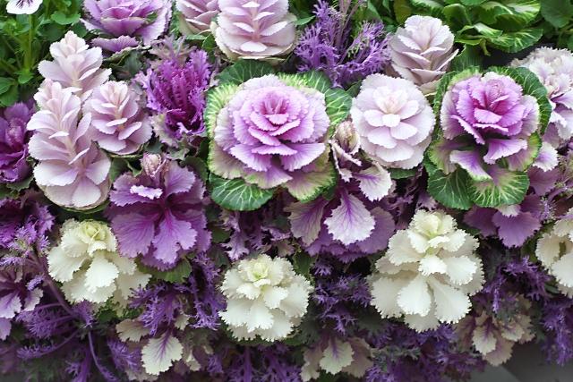 花壇葉牡丹
