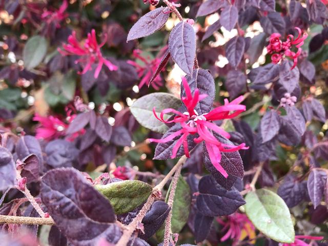 マンサク赤花