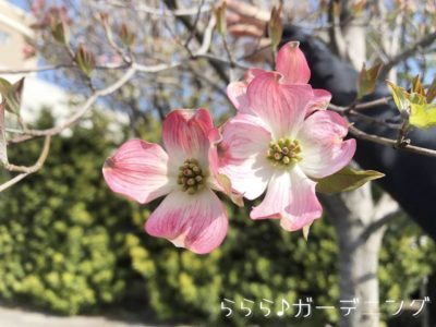 ハナミズキピンク花